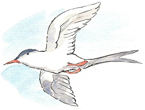 Sally The Arctic Tern